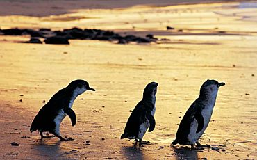 1 Day Phillip Island Penguin Express Tour from Melbourne