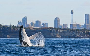 3 Hour Discovery Whale Watching from Sydney