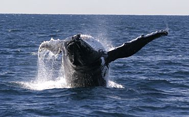 Express Whale Watching Cruise from Sydney