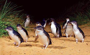 1 Day Phillip Island Penguins Parade Premium Tour from Melbourne