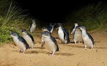 1 Day Around and About Phillip Island Penguin Parade Tour from Melbourne
